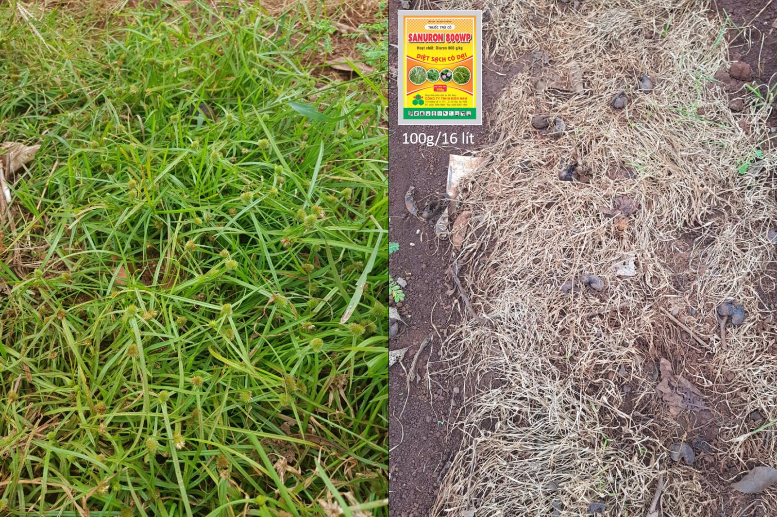 Sanuron 800WP cỏ chát, cỏ đầu rìu