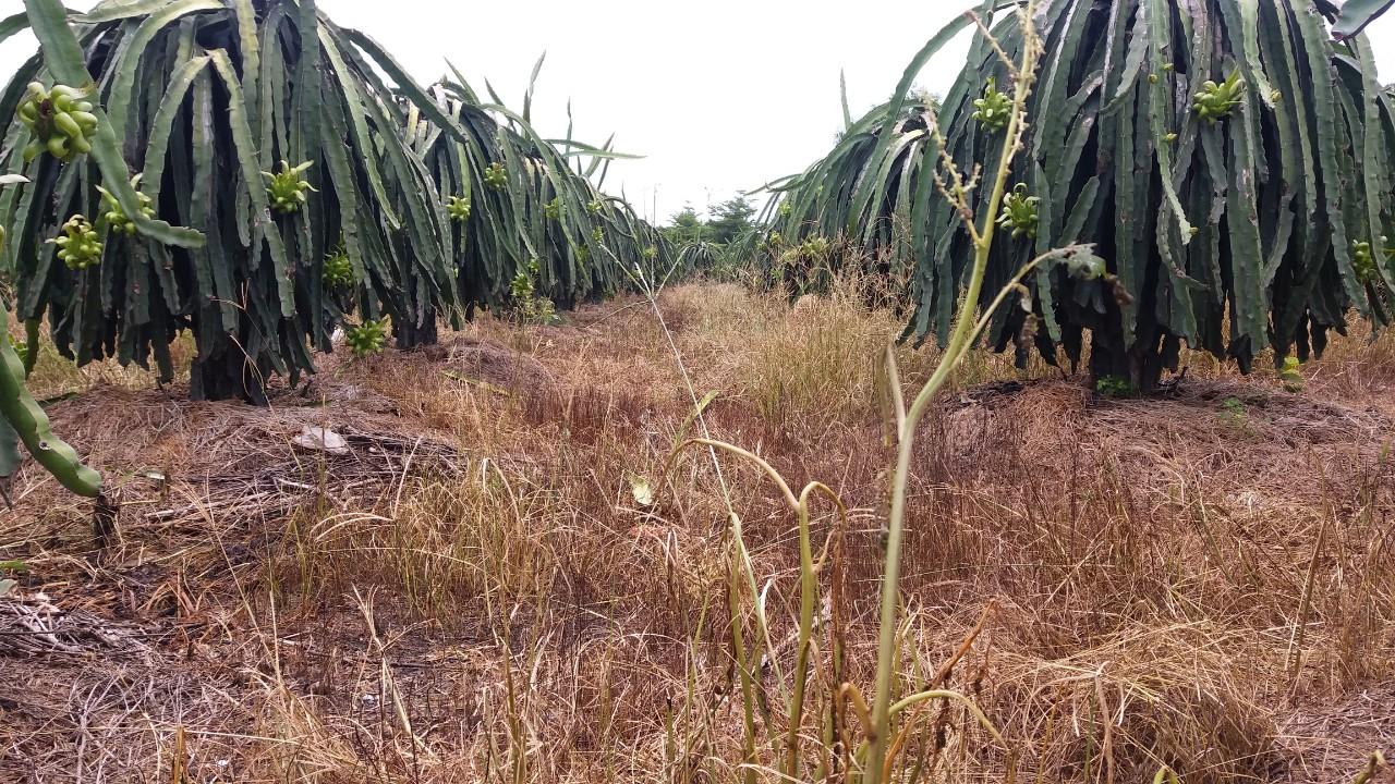 Sanuron 800WP trừ cỏ mần trầu trên thanh long Bình Thuận